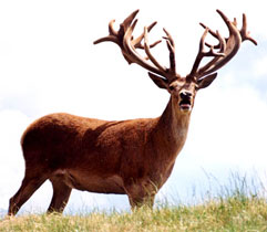 Red Stag Hunts