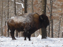 Buffalo in Winter