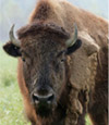 Buffalo Hunts at High Adventure Ranch