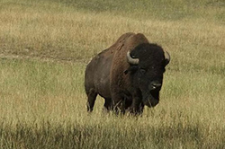 Buffalo in Missouri