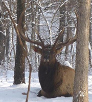 Elk in the snow in Missouri