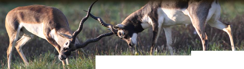 Axis Deer Hunts At High Adventure Deer Hunting Ranch