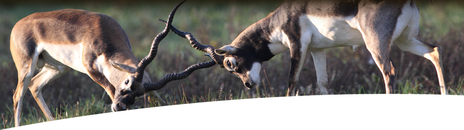 Hunt Black Buck at High Adventure Ranch