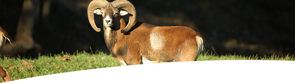Hunt Mouflon at High Adventure Ranch